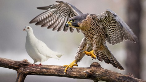 dove-hawk-hedb-2014.jpg