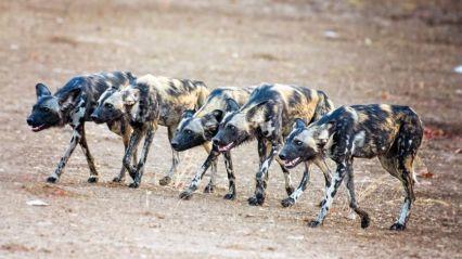 hyènes.jpg